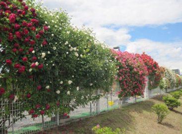 Những hàng rào rực rỡ sắc hoa