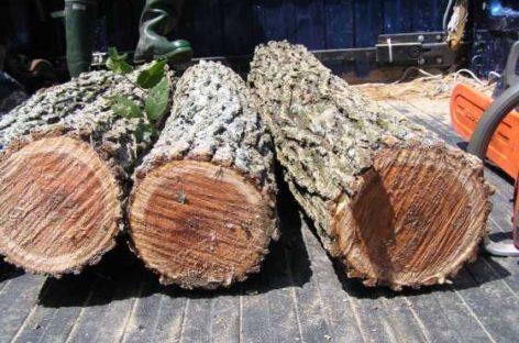 Các chủng loại gỗ cứng Hoa Kỳ (Phần 9) – Gỗ Du đỏ