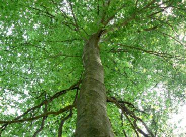 Các chủng loại gỗ cứng Hoa Kỳ (Phần 5) – Gỗ Giẻ gai Hoa Kỳ