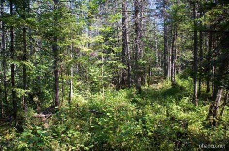 Các chủng loại gỗ cứng Hoa Kỳ (Phần 2) – Gỗ Tần bì