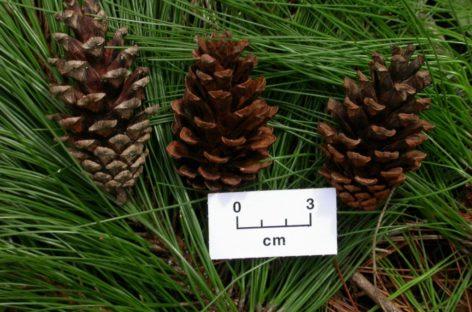 Các loại gỗ mềm thông dụng (Phần 1) – Gỗ Thông