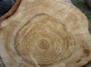 Các chủng loại gỗ cứng Hoa Kỳ (Phần 8) – Gỗ Dương