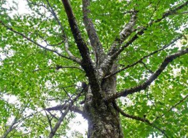 Các chủng loại gỗ cứng Hoa Kỳ (Phần 6) – Gỗ Phong vàng