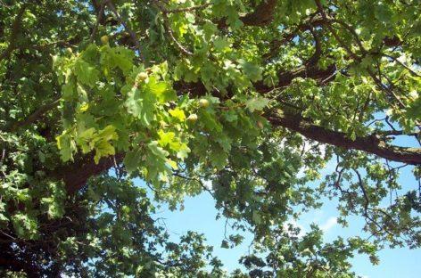 Các chủng loại gỗ cứng Hoa Kỳ (Phần 15) – Gỗ Sồi đỏ