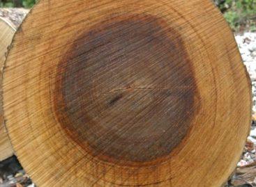 Các chủng loại gỗ cứng Hoa Kỳ (Phần 18) – Gỗ Sung dâu vàng
