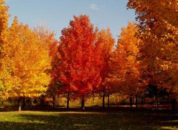 Các chủng loại gỗ cứng Hoa Kỳ (Phần 13) – Gỗ Thích cứng