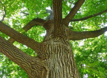 Các chủng loại gỗ cứng Hoa Kỳ (Phần 10) – Gỗ Bạch đàn