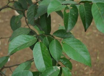 Các loài gỗ ít được biết đến của Việt Nam (Phần 15)