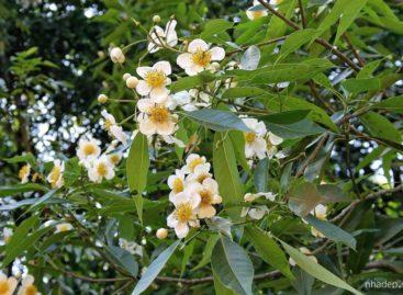 Các loài gỗ ít được biết đến của Việt Nam (Phần 14)