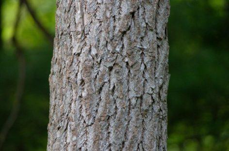 Các chủng loại gỗ cứng Hoa Kỳ (Phần 17) – Gỗ De vàng