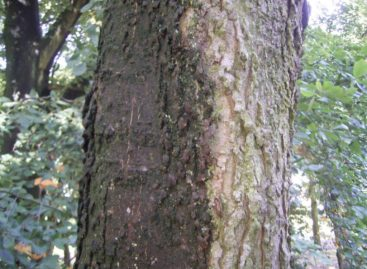 Các chủng loại gỗ cứng Hoa Kỳ (Phần 11) – Gỗ Sếu