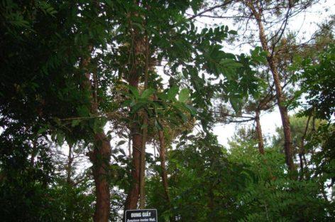 Các loài gỗ ít được biết đến của Việt Nam (Phần 16)