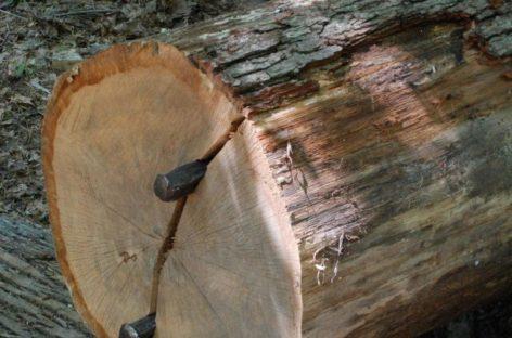 Các chủng loại gỗ cứng Hoa Kỳ (Phần 16) – Gỗ Sồi trắng